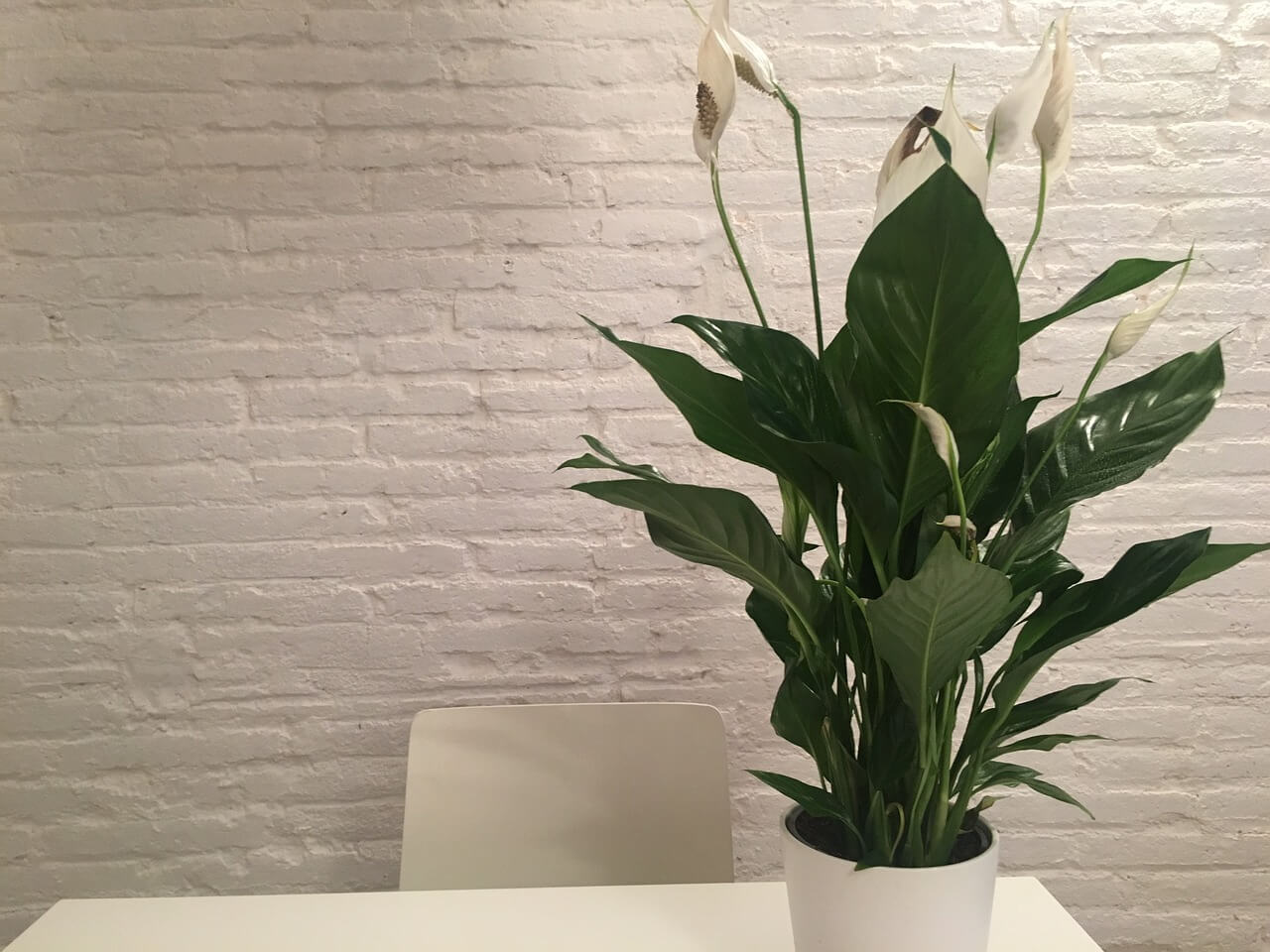 lily plant for condo philippines